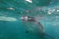 Plavání se Žraloky obrovskými - Oslob